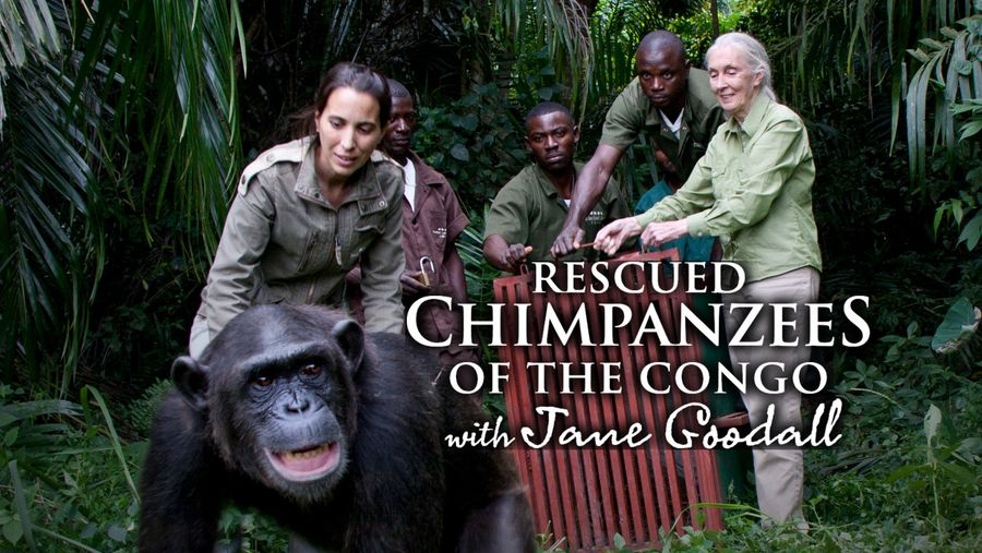 Curiosity Stream - Rescued Chimpanzees of the Congo with ...